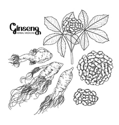 Graphic ginseng root and berries vector image vector image