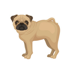 flat portrait of standing pug puppy side vector image