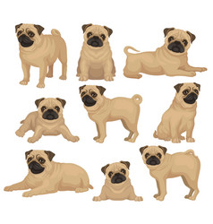 flat set of pug puppy in different poses vector image