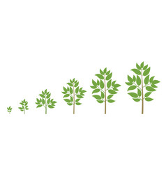 Tree growth stages ripening period progression vector