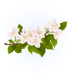 fowering branch of apple tree spring background vector image vector image