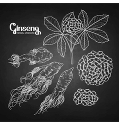 Graphic ginseng root and berries vector image