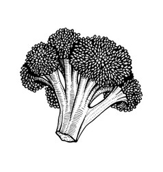 hand drawn of cauliflower vector image