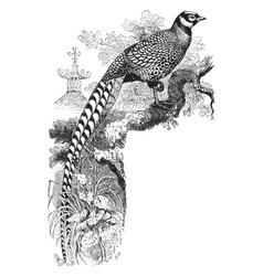 reeves pheasant vintage vector image