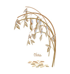 Spikelet oats with leaves stems and grains vector