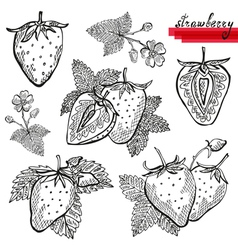 strawberries vector image