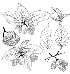 mulberry vector image vector image