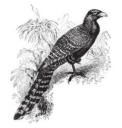 pheasant cuckoo vintage vector image vector image