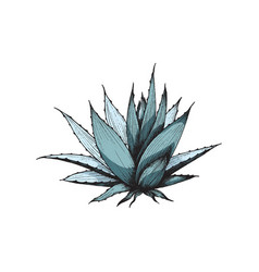 Hand drawn succulent agave plant engraving colored vector