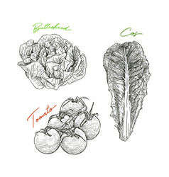 hand drawn sketch style vegetables set butterhead vector image