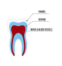 tooth structure anatomy with all parts including vector image