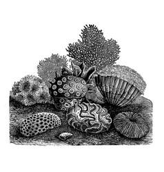 vintage stony corals engraving vector image