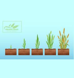 wheat growth cartoon flat vector image