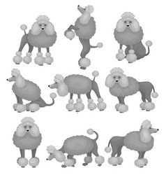 flat set of small poodle in different poses vector image