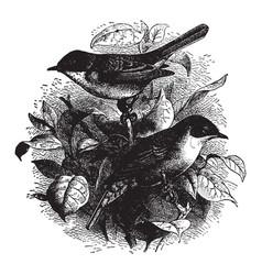 Hedge sparrows vintage vector