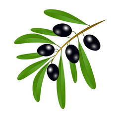 branch with black olives and leaves to decorate vector image
