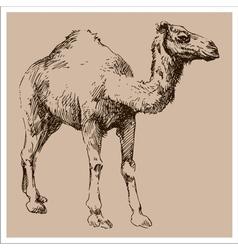 Camel vintage sketch vector