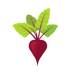fresh beet with leaf vegetarianism vector image