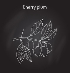 cherry plum prunus cerasifera branch with fruits vector image