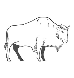 Hand Drawn Buffalo isolated on white vector image