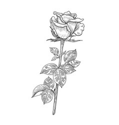 Hand drawn rose bud with leaves vector