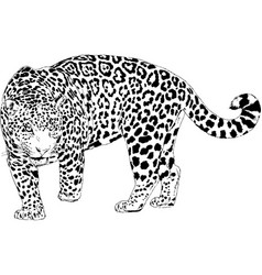 large leopard preparing to attack vector image