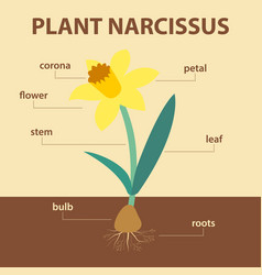 diagram showing parts of narcissus whole plant vector image