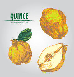 digital detailed color quince hand drawn vector image vector image