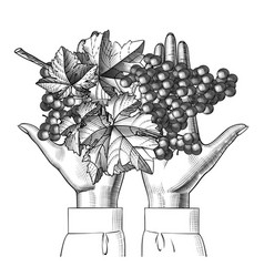 female hand with bunch grapes vector image