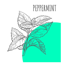 Peppermint sketch botanical herb spice vector