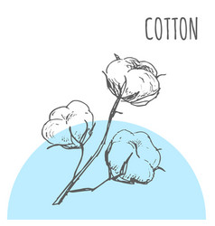Cotton sketch botanical plant vector