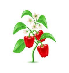 growing pepper plant isolated on white vector image