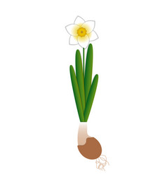 Narcissus bloom in a ceramic pot plant entirely vector
