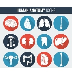 Human internal organs Anatomy set vector