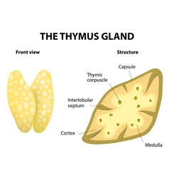thymus vector image