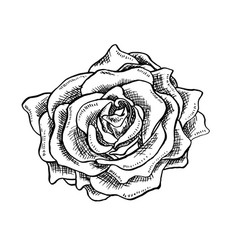rose flower bud in sketch style blossoming single vector image vector image