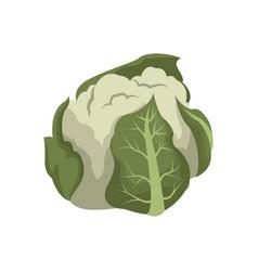 Cauliflower vegetable nutrition vitamin food vector