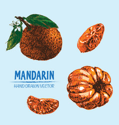 digital detailed color orange mandarin vector image