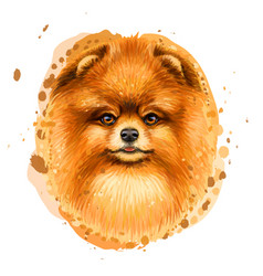 color portrait a pomeranian spitz vector image