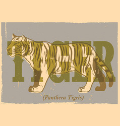 hand drawing style of vintage tiger poster vector image vector image