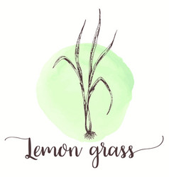lemongrass sketch on watercolor paint hand drawn vector image