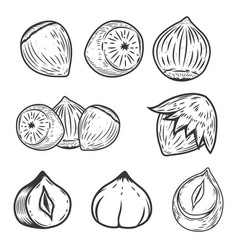 set of hazelnuts icons isolated on white vector image