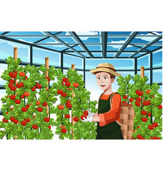 farmer harvesting tomatoes vector image