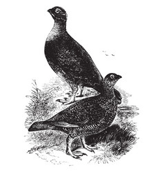Red grouse vintage vector