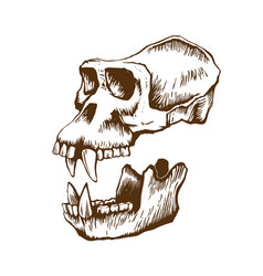 garrile monkey skull vector image
