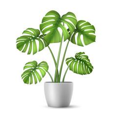 Realistic monstera in a flower pot vector
