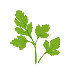 Fresh green parsley isolated on white close up vector