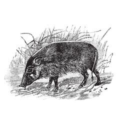 Red river hog vintage vector