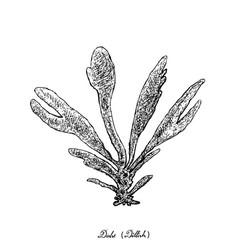 Dulse or dillisk seaweed on white background vector