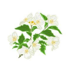 Jasmine flower branch vector